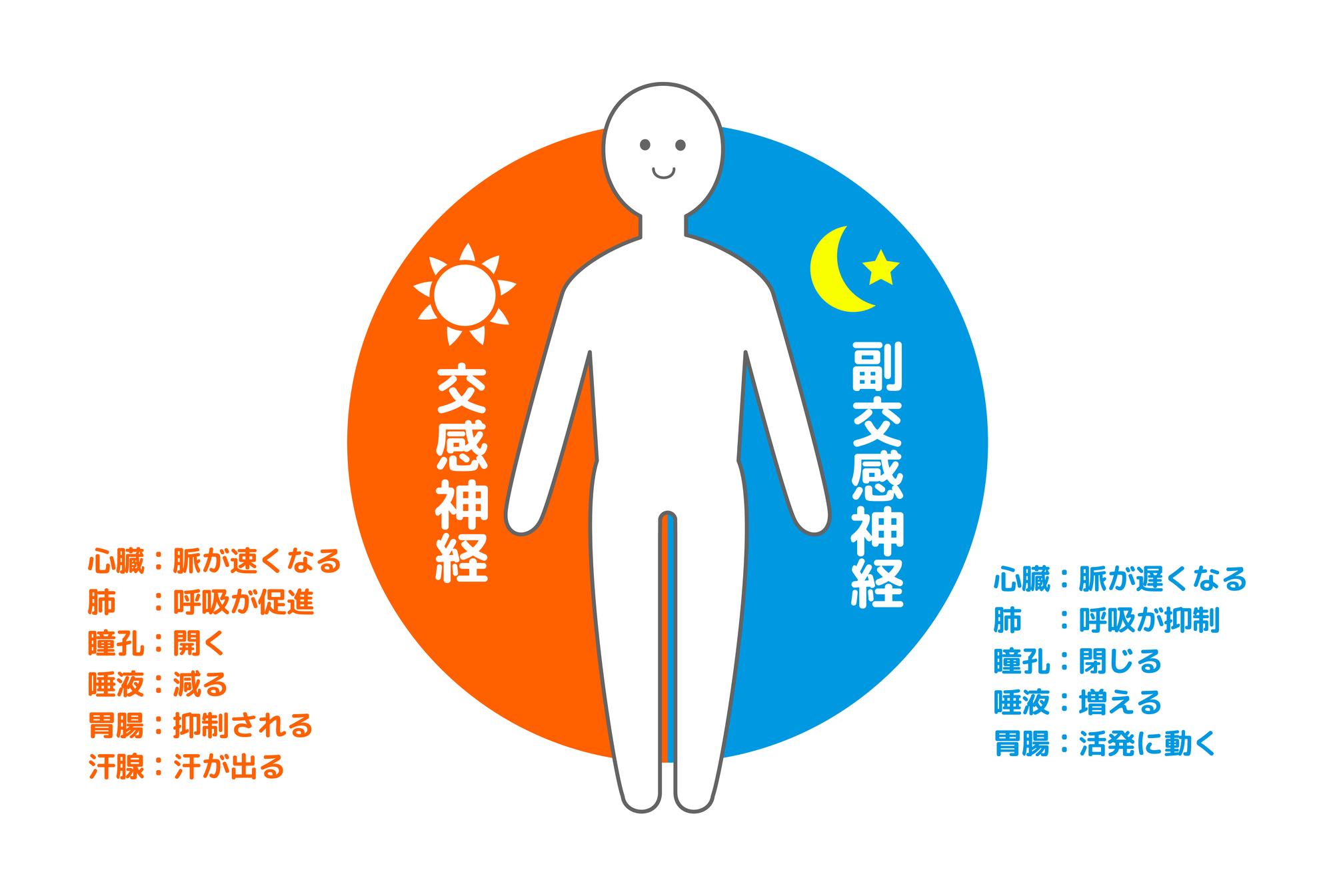 腰痛と自律神経、交感神経、副交感神経の関係